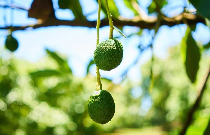 Young avocados growing on a tree