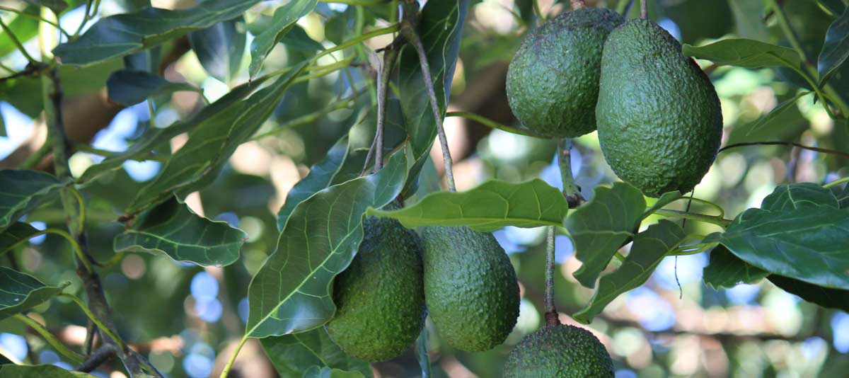Fruit of the avocado tree