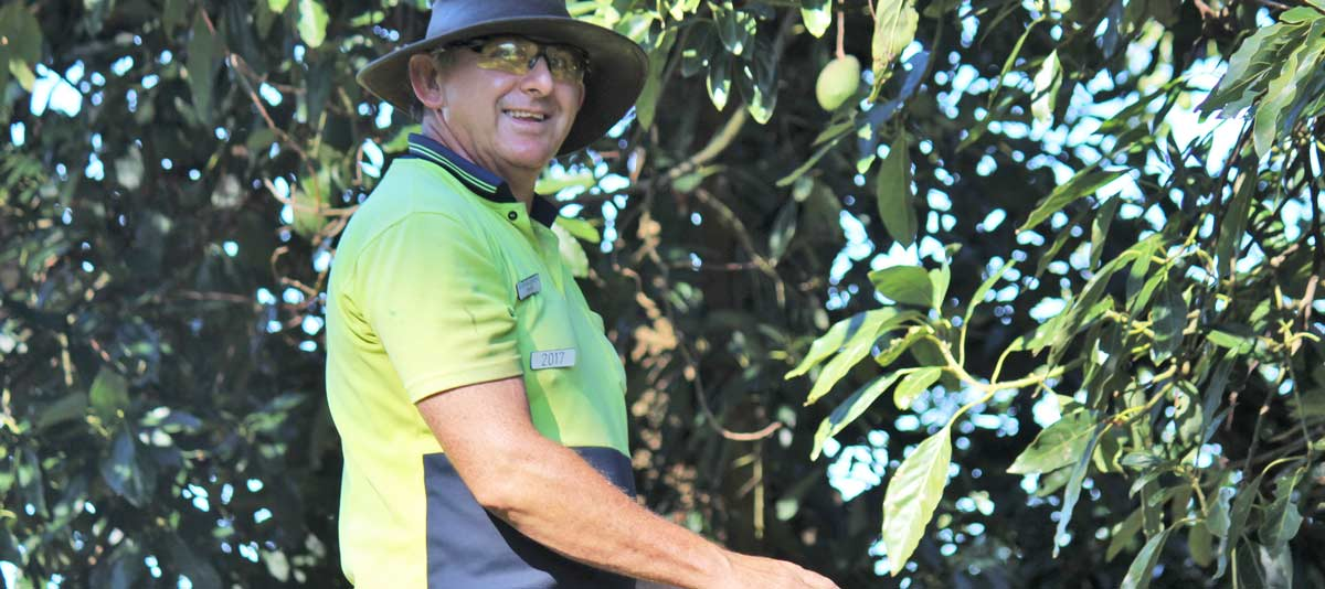 A farm worker picks avocados from a cherry picker picker