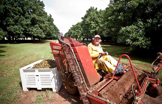 A macadamia harvesting machine is driven by a farm worker